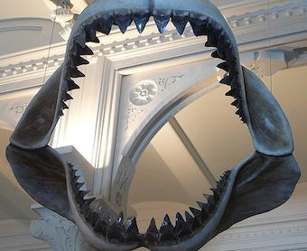 Unlike its extinct namesake, MegalodonHTTP was found to be mostly toothless (Pic: American Museum of Natural History)